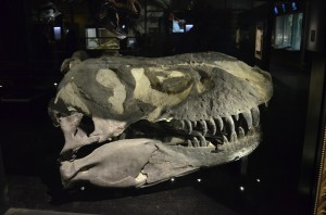 A real T-Rex Skull that has toured around the world