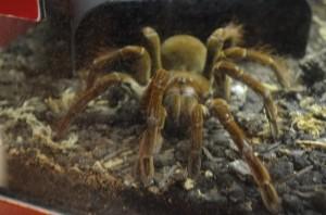 A real Tarantula