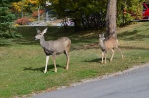 """The """"locals"""" - a mule deer and baby"""