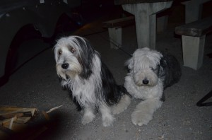 Jazz and her new friend-Soupy Sales - an Old English Sheepdog