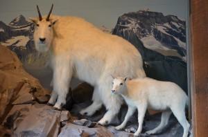 Roger's Pass Interpretive Ctr. - Mtn. Goats (taxidermy)