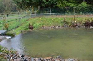 Salmon coming back to the hatchery after 4 years