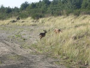Oh deer - near the beach