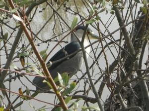 A faithful bird in the nearby lagoon - a Black Crested Night Heron