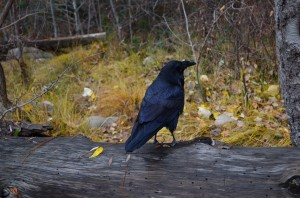 Raven's - huge birds and smart. They also make several different sounds, one which sounds like a turkey
