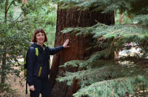 """Checking out the bark on a """"baby""""  Sequoia tree - very thick and spongy bark"""