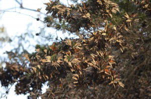 Clumps of Monarchs