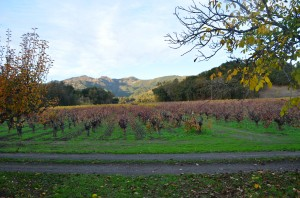 Vineyard shot from bike path going back into town