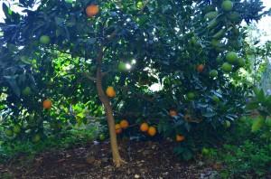 Orange tree at the Chateau