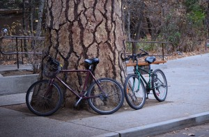 A ponderosa pine and our bikes