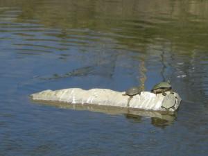 San Antonio turtles-along the river bike routes