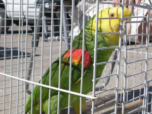 Oscar - a double yellow amazon parrot @ the beach for an outing with and older couple