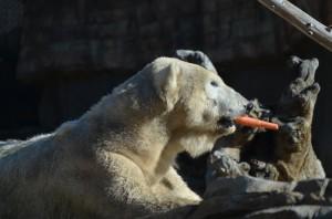Polar Bear - A healthy snack