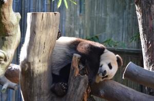 Panda-Nap time