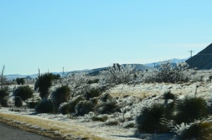 Small desert palms and cacti with ice on them