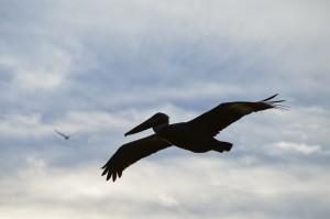 Pelican silouette