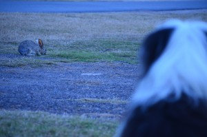 Jazz found another friend right at our site-A Texas Jackrabbit - they grow them bigger