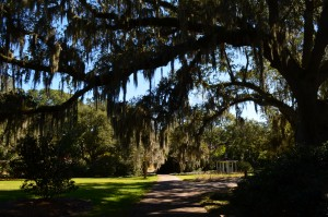 300 + years old Oak trees with Spanish moss