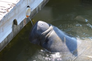 The Manatee we saw while enjoying lunch on the water