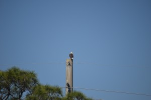 Nine Bald Eagle nests throughout the Cape's marshlands