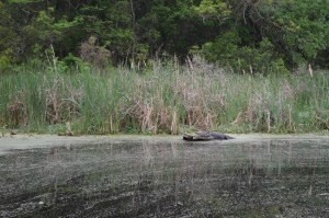 "An Alligator ""relaxing"" in the marsh"