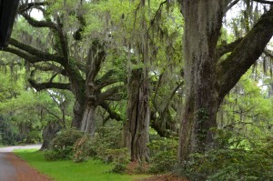 Beautiful old trees throughout Magnolia Plantation